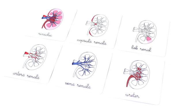Lecții Montessori – Anatomie – Sistemul digestiv – Colectia Tiki-Tan – Smart Games
